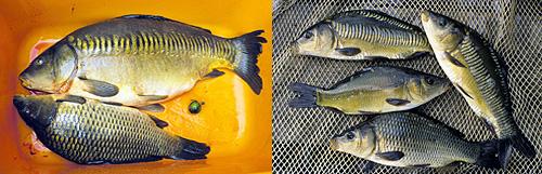 Karpilla esiintyy erilaisia suomutyyppejä. Vasemmalla aikuisia usean kilon painoisia karppeja, oikealla yksikesäisiä noin sadan gramman painoisia eri suomutyyppejä edustavia nuoria kaloja. Kuvat: Jussi T. Pennanen