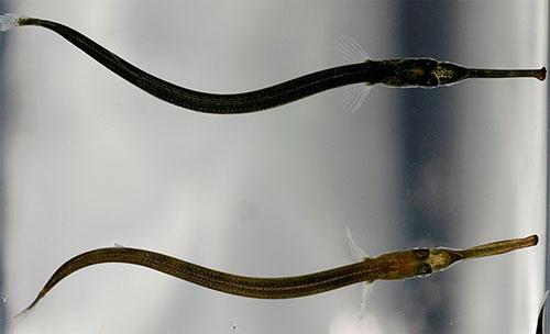 Nokkakalan poikaset uivat usein lähellä veden pintaa, alaleuan kärki pintaa viistäen.